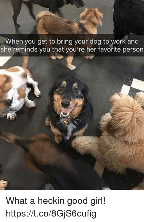 Funny, Work, and Girl: hen you get to bring your dog to work and  she reminds you that you're her favorite person What a heckin good girl! https://t.co/8GjS6cufig