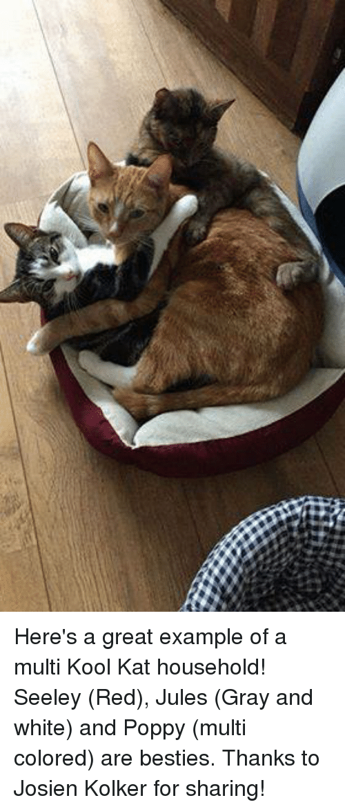 Poppies: Here's a great example of a multi Kool Kat household! Seeley (Red), Jules (Gray and white) and Poppy (multi colored) are besties.  Thanks to Josien Kolker for sharing!