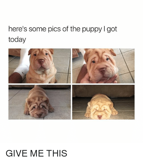 Puppy, Today, and Girl Memes: here's some pics of the puppy I got  today GIVE ME THIS
