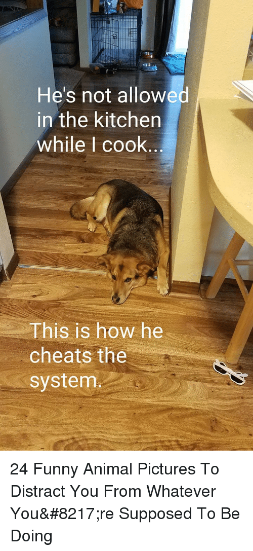Funny, Animal, and Pictures: He's not allowed  in the kitchen  while l cook  This is how he  cheats the  system 24 Funny Animal Pictures To Distract You From Whatever You're Supposed To Be Doing