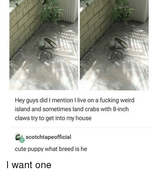 cute puppy: Hey guys did I mention I live on a fucking weird  island and sometimes land crabs with 8-inch  claws try to get into my house  CAscotchtapeofficial  cute puppy what breed is he I want one
