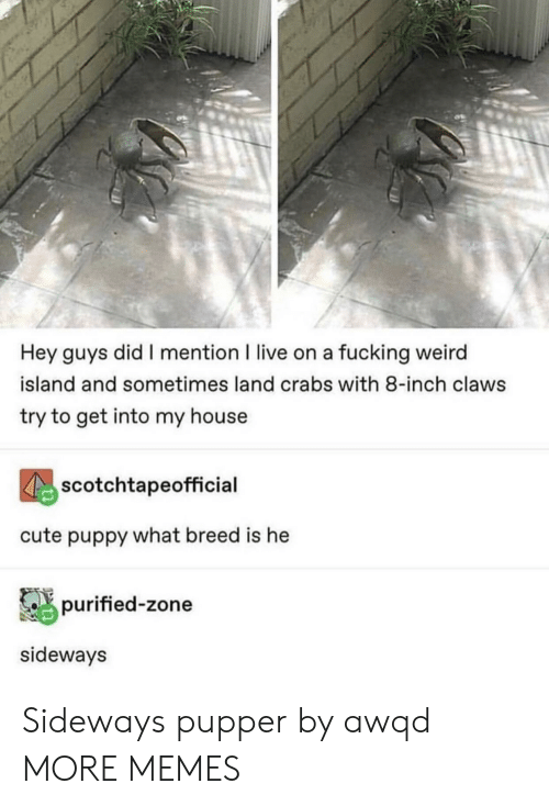 Cute, Dank, and Fucking: Hey guys did I mention I live on a fucking weird  island and sometimes land crabs with 8-inch claws  try to get into my house  scotchtapeofficial  cute puppy what breed is he  purified-zone  sideways Sideways pupper by awqd MORE MEMES