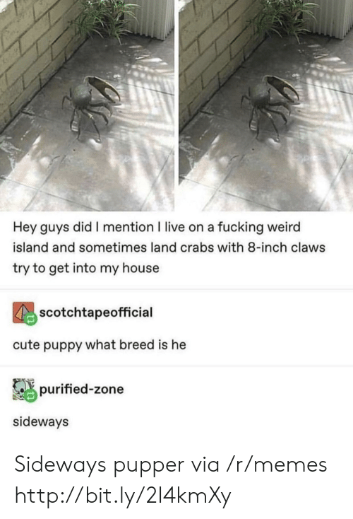 cute puppy: Hey guys did I mention I live on a fucking weird  island and sometimes land crabs with 8-inch claws  try to get into my house  scotchtapeofficial  cute puppy what breed is he  purified-zone  sideways Sideways pupper via /r/memes http://bit.ly/2I4kmXy
