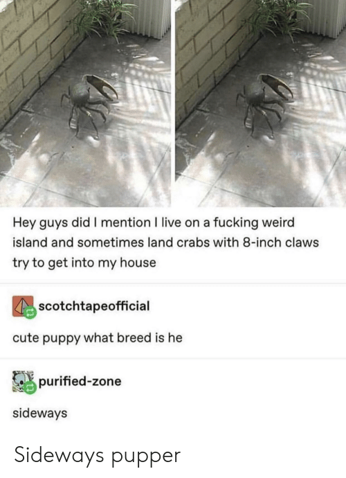cute puppy: Hey guys did I mention I live on a fucking weird  island and sometimes land crabs with 8-inch claws  try to get into my house  scotchtapeofficial  cute puppy what breed is he  purified-zone  sideways Sideways pupper