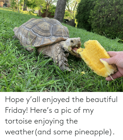 The Weather: Hope y'all enjoyed the beautiful Friday! Here's a pic of my tortoise enjoying the weather(and some pineapple).