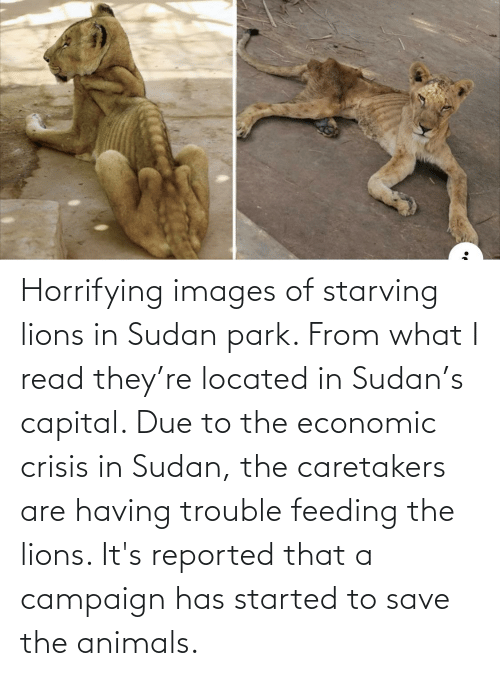 Reported: Horrifying images of starving lions in Sudan park. From what I read they're located in Sudan's capital. Due to the economic crisis in Sudan, the caretakers are having trouble feeding the lions. It's reported that a campaign has started to save the animals.