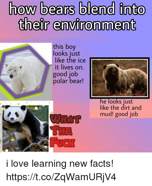 mud: how bears blend into  their environment  this boy  looks just  like the ice  it lives on.  good job  polar bear!  he looks just  like the dirt and  mud! good job i love learning new facts! https://t.co/ZqWamURjV4
