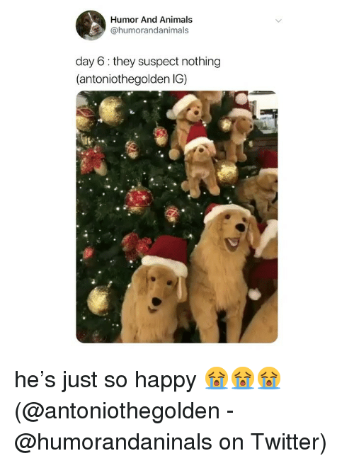 Animals, Memes, and Twitter: Humor And Animals  @humorandanimals  day 6 they suspect nothing  (antoniothegolden IG) he's just so happy 😭😭😭 (@antoniothegolden - @humorandaninals on Twitter)