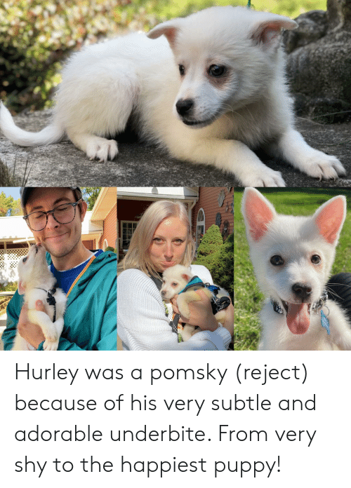 Puppy, Adorable, and Hurley: Hurley was a pomsky (reject) because of his very subtle and adorable underbite. From very shy to the happiest puppy!