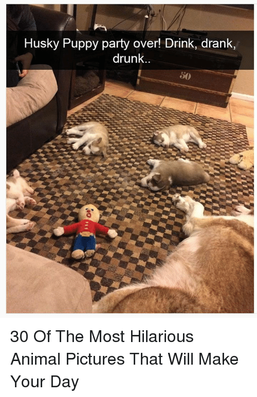 Drunk, Party, and Animal: Husky Puppy party over! Drink, drank,  drunk..  50 30 Of The Most Hilarious Animal Pictures That Will Make Your Day