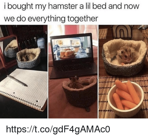 Memes, Hamster, and 🤖: i bought my hamster a lil bed and now  we do everything together https://t.co/gdF4gAMAc0