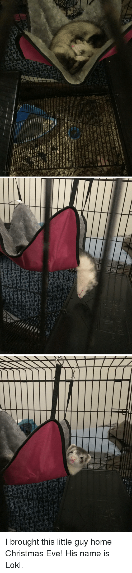 Ferret: I brought this little guy home Christmas Eve! His name is Loki.
