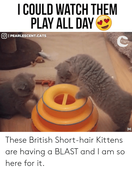Cats, Memes, and Hair: I COULD WATCH THEM  PLAY ALL DAY  OI PEARLESCENT.CATS These British Short-hair Kittens are having a BLAST and I am so here for it.