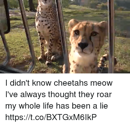 Meowe: I didn't know cheetahs meow I've always thought they roar my whole life has been a lie  https://t.co/BXTGxM6IkP