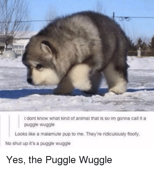 Shut Up, Animal, and Pup: i dont know what kind of animal that is so im gonna call it a  puggle wuggle  Looks like a malamute pup to me. They're ridiculously flooty  No shut up it's a puggle wuggle Yes, the Puggle Wuggle