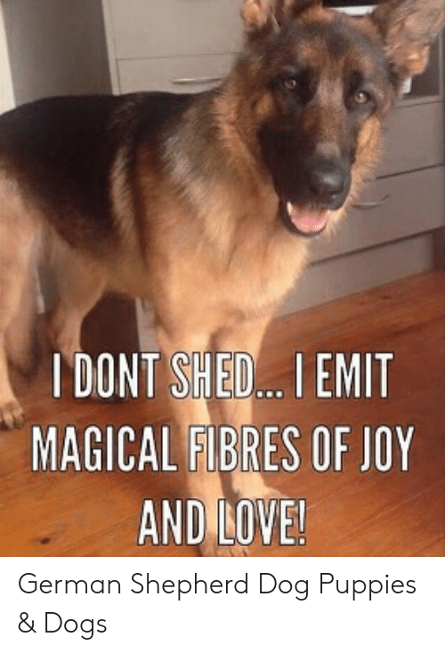 Dogs, Love, and Puppies: I DONT SHED I EMIT  MAGICAL FIBRES OF JOY  AND LOVE! German Shepherd Dog Puppies & Dogs