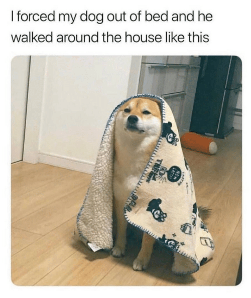House, Dog, and The House: I forced my dog out of bed and he  walked around the house like this