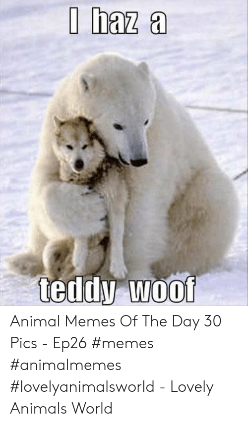 Animals, Memes, and Animal: I haz a  teddy woof Animal Memes Of The Day 30 Pics - Ep26 #memes #animalmemes #lovelyanimalsworld - Lovely Animals World