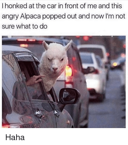 Memes, Angry, and Alpaca: I honked at the car in front of me and this  angry Alpaca popped out and now I'm not  sure what to do Haha