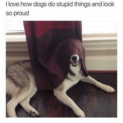 Dogs, Love, and Memes: I love how dogs do stupid things and look  so proud