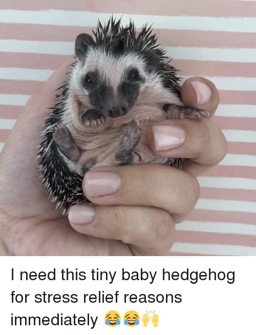tiny babies: I need this tiny baby hedgehog for stress relief reasons immediately 😂😂🙌