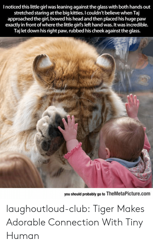 bowed: I noticed this little girl was leaning against the glass with both hands out  stretched staring at the big kitties. I couldn't believe when Taj  approached the girl, bowed his head and then placed his huge paw  exactly in front of where the little girl's left hand was. It was incredible.  Taj let down his right paw, rubbed his cheek against the glass.  bewhe itle girlsleft hand was,it  you should probably go to TheMetaPicture.com laughoutloud-club:  Tiger Makes Adorable Connection With Tiny Human