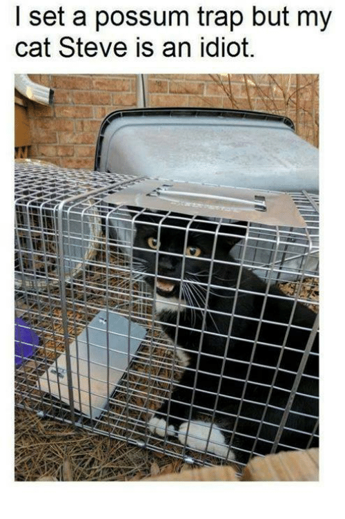 Memes, Trap, and Possum: I set a possum trap but my  cat Steve is an idiot.