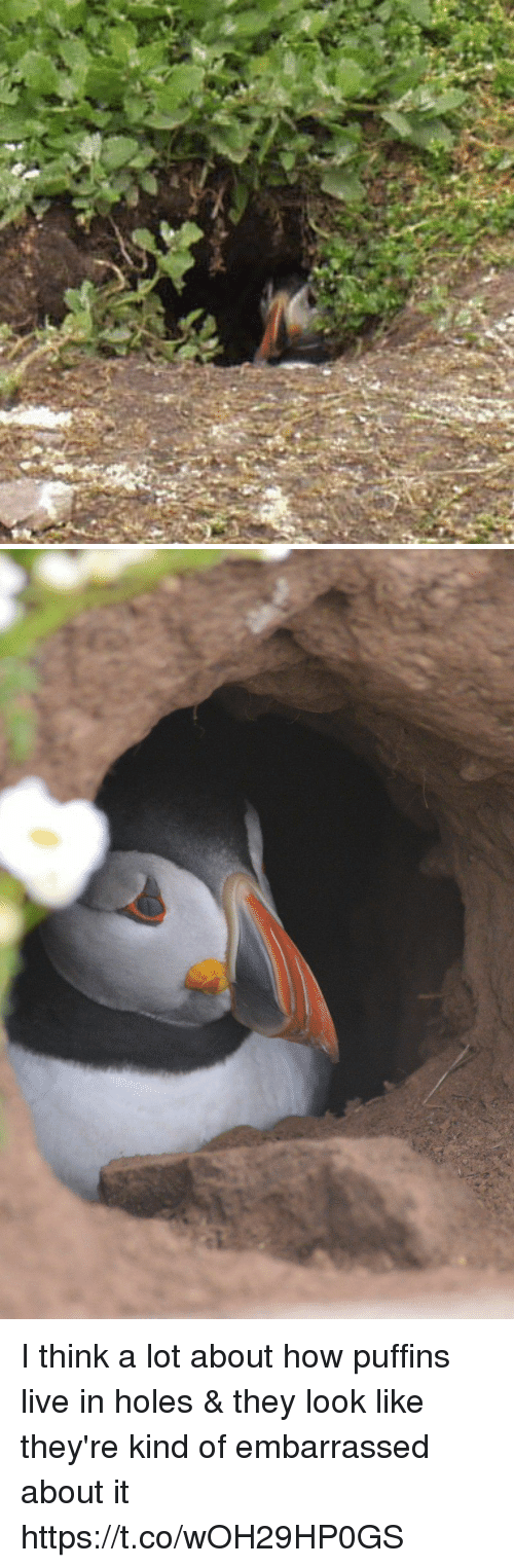 Funny, Holes, and Live: I think a lot about how puffins live in holes & they look like they're kind of embarrassed about it https://t.co/wOH29HP0GS