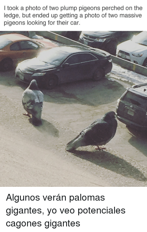 plump: I took a photo of two plump pigeons perched on the  ledge, but ended up getting a photo of two massive  pigeons looking for their car. <p>Algunos verán palomas gigantes, yo veo potenciales cagones gigantes</p>