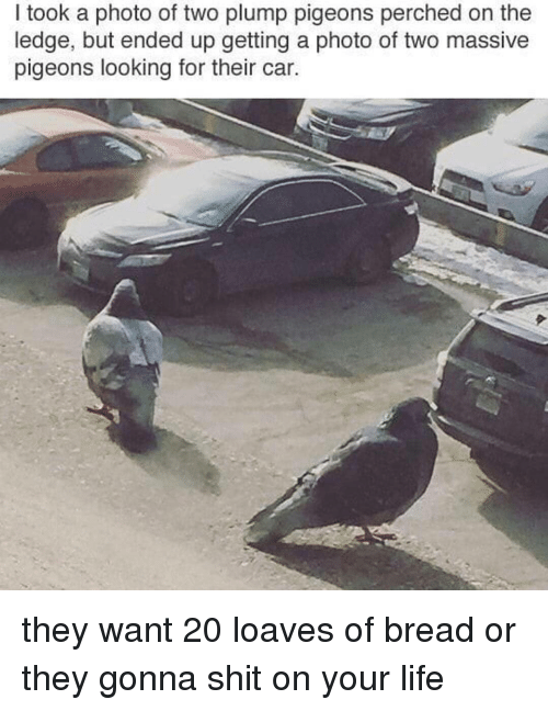 plump: I took a photo of two plump pigeons perched on the  ledge, but ended up getting a photo of two massive  pigeons looking for their car. they want 20 loaves of bread or they gonna shit on your life