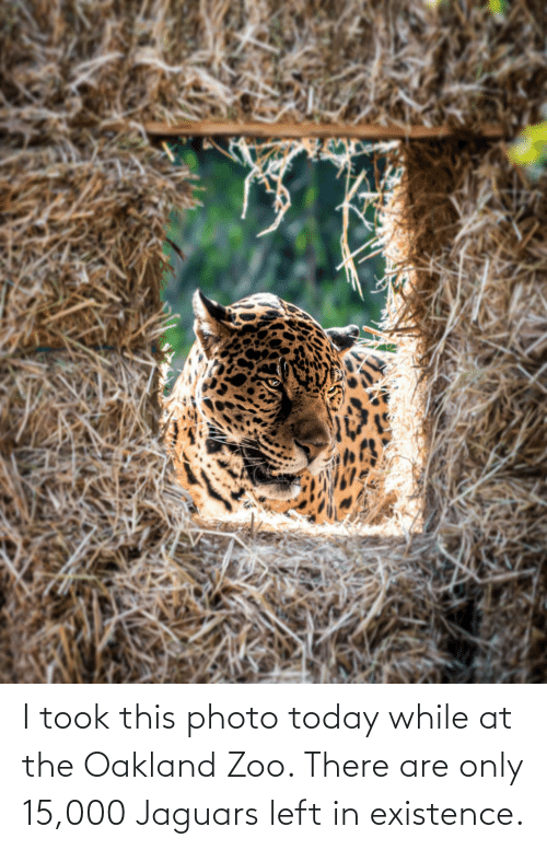 jaguars: I took this photo today while at the Oakland Zoo. There are only 15,000 Jaguars left in existence.
