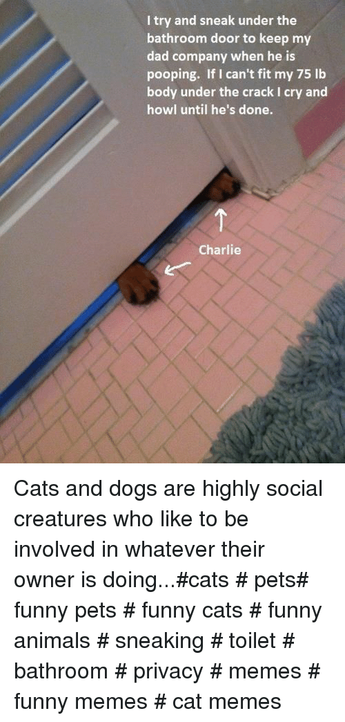 Funny animals: I try and sneak under the  bathroom door to keep my  dad company when he is  pooping. If I can't fit my 75 lb  body under the crack I cry and  howl until he's done.  Charlie Cats and dogs are highly social creatures who like to be involved in whatever their owner is doing...#cats # pets# funny pets # funny cats # funny animals # sneaking # toilet # bathroom # privacy # memes # funny memes # cat memes