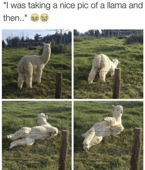 """Nice, Llama, and Pic: """"I was taking a nice pic of a llama and  then.."""""""