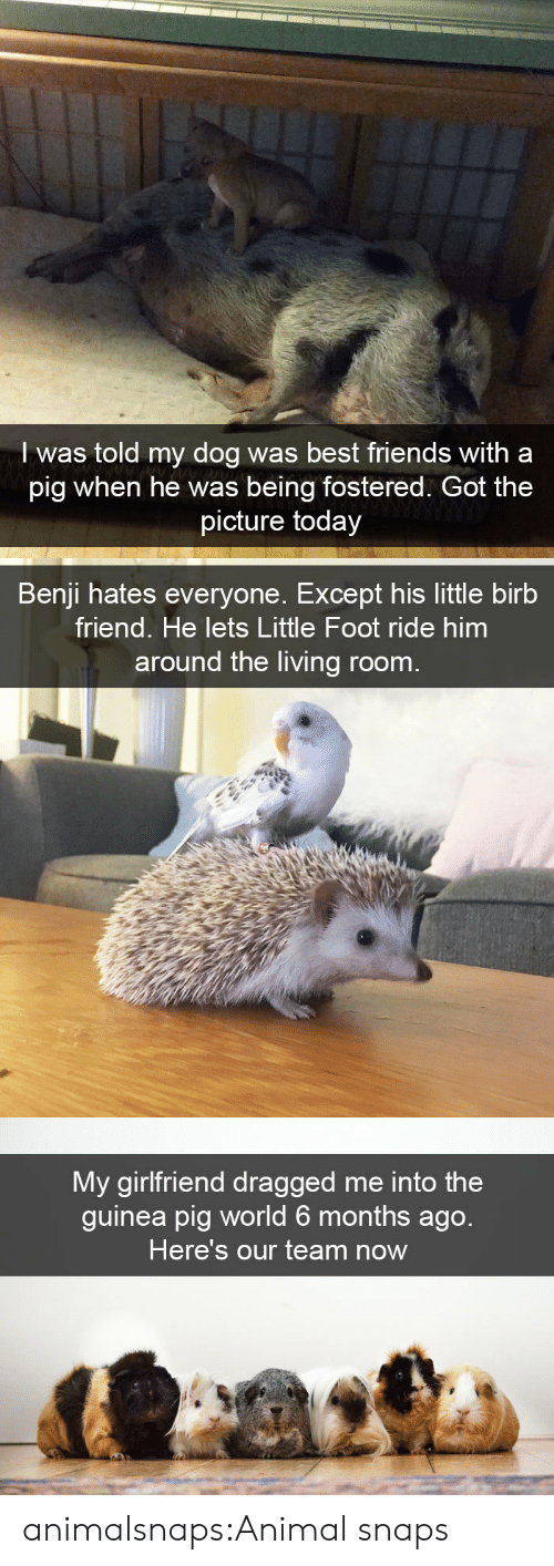 Dragged: I was told my dog was best friends with a  pig when he was being fostered. Got the  picture today   Benji hates everyone. Except his little birb  friend. He lets Little Foot ride him  around the living room.   My girlfriend dragged me into the  guinea pig world 6 months ago.  Here's our team now animalsnaps:Animal snaps