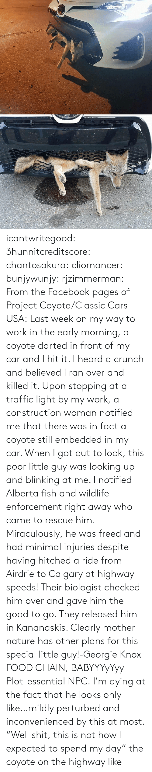 "The Fact That: icantwritegood: 3hunnitcreditscore:  chantosakura:  cliomancer:  bunjywunjy:  rjzimmerman:  From the Facebook pages of Project Coyote/Classic Cars USA: Last week on my way to work in the early morning, a coyote darted in front of my car and I hit it. I heard a crunch and believed I ran over and killed it. Upon stopping at a traffic light by my work, a construction woman notified me that there was in fact a coyote still embedded in my car. When I got out to look, this poor little guy was looking up and blinking at me. I notified Alberta fish and wildlife enforcement right away who came to rescue him. Miraculously, he was freed and had minimal injuries despite having hitched a ride from Airdrie to Calgary at highway speeds! Their biologist checked him over and gave him the good to go. They released him in Kananaskis. Clearly mother nature has other plans for this special little guy!-Georgie Knox  FOOD CHAIN, BABYYYyYyy  Plot-essential NPC.   I'm dying at the fact that he looks only like…mildly perturbed and inconvenienced by this at most.    ""Well shit, this is not how I expected to spend my day""  the coyote on the highway like"