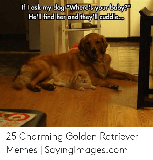 Memes, Golden Retriever, and Charming: If I ask my dog uWhere's baby?  He'll find her and theyll cuddle..  your 25 Charming Golden Retriever Memes   SayingImages.com