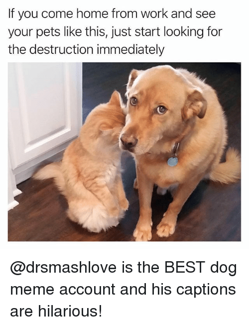 Dog Meme: If you come home from work and see  your pets like this, just start looking for  the destruction immediately @drsmashlove is the BEST dog meme account and his captions are hilarious!