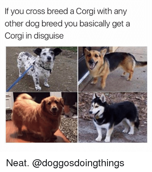 corgy: If you cross breed a Corgi with any  other dog breed you basically get a  Corgi in disguise Neat. @doggosdoingthings
