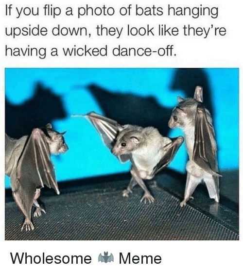 Wicked: If you flip a photo of bats hanging  upside down, they look like they're  having a wicked dance-off. Wholesome 🦇 Meme