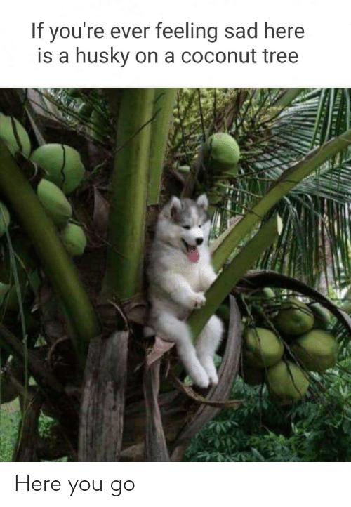 Here You Go: If you're ever feeling sad here  is a  husky on a coconut tree Here you go
