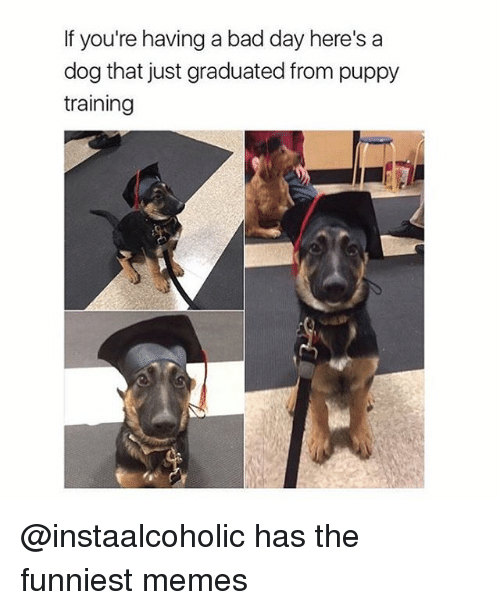 Bad, Bad Day, and Funny: If you're having a bad day here's a  dog that just graduated from puppy  training @instaalcoholic has the funniest memes