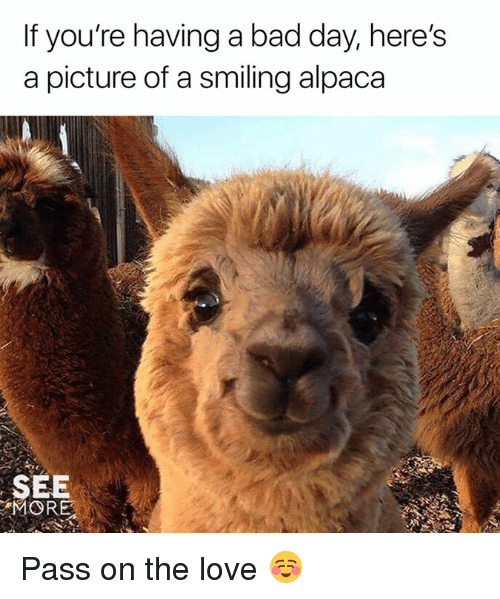 Bad, Bad Day, and Dank: If you're having a bad day, here's  a picture of a smiling alpaca  SEE  MORE Pass on the love ☺️