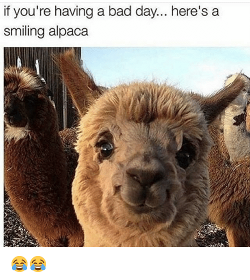 Bad, Bad Day, and Funny: if you're having a bad day... here's a  smiling alpaca 😂😂