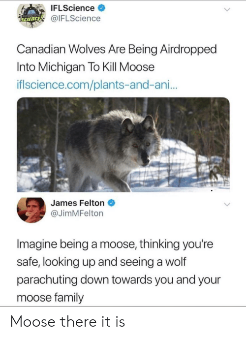 Ani: IFLScience >  @IFLScience  SCIENCE  Canadian wolves Are Being Airdropped  Into Michigan To Kill Moose  iflscience.com/plants-and-ani...  James Felton  @JimMFelton  Imagine being a moose, thinking you're  safe, looking up and seeing a wolf  parachuting down towards you and your  moose family Moose there it is