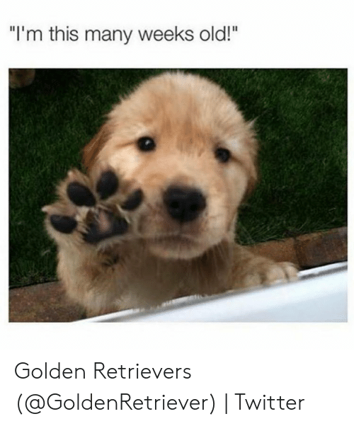 """Twitter, Old, and This: """"I'm this many weeks old!"""" Golden Retrievers (@GoldenRetriever)   Twitter"""
