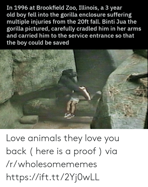 Love Animals: In 1996 at Brookfield Zoo, Illinois, a 3 year  old boy fell into the gorilla enclosu re suffering  multiple injuries from the 20ft fall. Binti Jua the  gorilla pictured, carefully cradled him in her arms  and carried him to the service entrance so that  the boy could be saved Love animals they love you back ( here is a proof ) via /r/wholesomememes https://ift.tt/2Yj0wLL