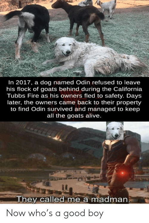 Madman: In 2017, a dog named Odin refused to leave  his flock of goats behind during the California  Tubbs Fire as his owners fled to safety. Days  later, the owners came back to their property  to find Odin survived and managed to keep  all the goats alive.  They called me a madman Now who's a good boy