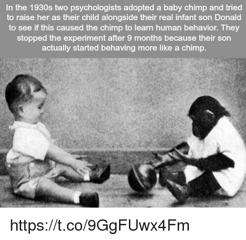 baby chimp: In the 1930s two psychologists adopted a baby chimp and tried  to raise her as their child alongside their real infant son Donald  to see if this caused the chimp to learn human behavior. They  stopped the experiment after 9 months because their son  actually started behaving more like a chimp https://t.co/9GgFUwx4Fm