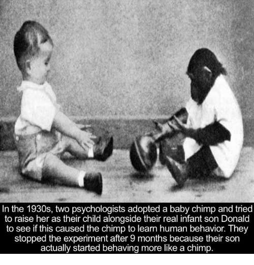baby chimp: In the 1930s, two psychologists adopted a baby chimp and tried  to raise her as their child alongside their real infant son Donald  to see if this caused the chimp to learn human behavior. They  stopped the experiment after 9 months because their son  actually started behaving more like a chimp