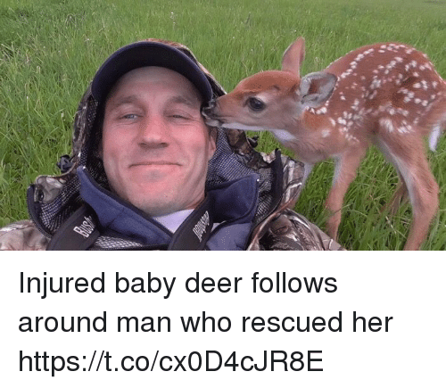Deer, Memes, and Baby: Injured baby deer follows around man who rescued her https://t.co/cx0D4cJR8E